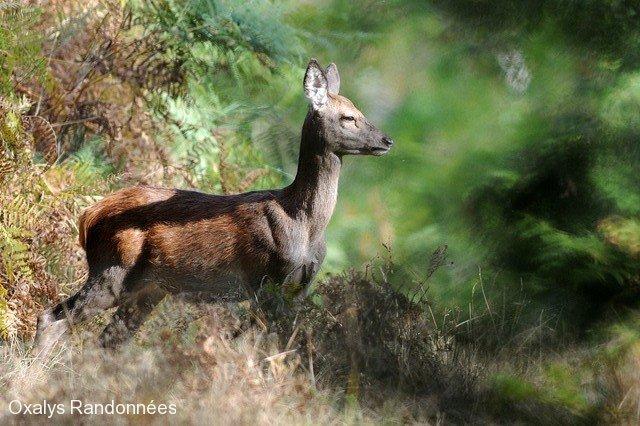 brame-cerf-pyrenees5