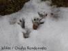 empreintes-marmottes-gavarnie