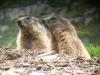 rando anes faune marmotte