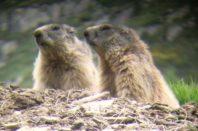 randonnee faune pyreenes marmottes