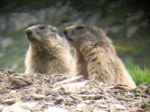 observation faune pyrenees marmottes